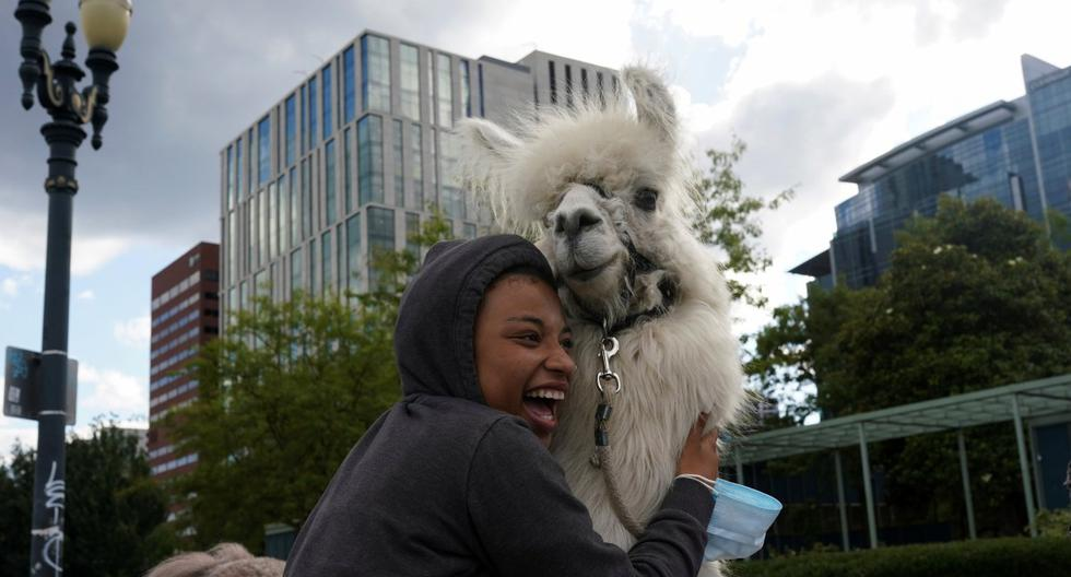 Lyra Cnley abaza a César McCool, una llama terapéutica en el sitio de protesta contra la violencia policial y la desigualdad social, en Portland, Oregón. (REUTERS/Nathan Howard).