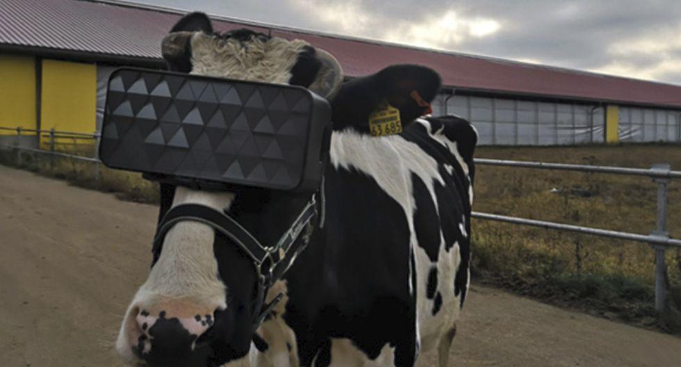 Las vacas de una granja rusa se suman a la moda de las gafas de realidad virtual.  (Ministerio de Agricultura de la Región de Moscú)