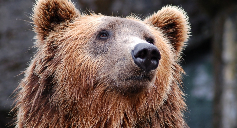 Un curioso oso abrió la puerta de un vehículo y se subió a la parte trasera en busca de comida. (Foto: Adam A en YouTube)