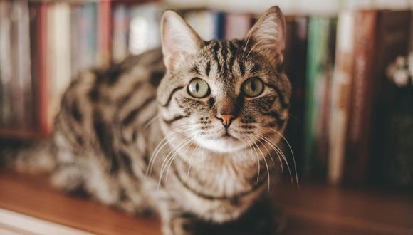 El gato fue encontrado por los familiares de la fémina hace un tiempo. (Referencial - Pixabay)