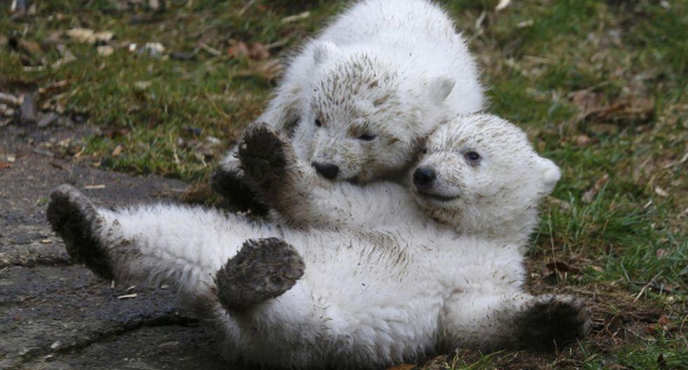 ¿Cómo se le encuentra pareja a un oso polar?