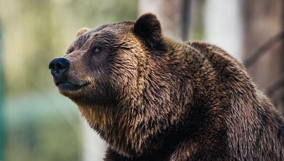 El oso se mostró curioso con los visitantes. (Foto referencial - Pexels)