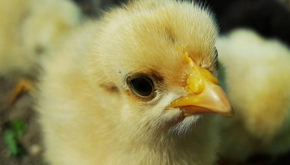Los pollos se encontraban en jaulas de plástico. (Foto: Referencial - Pixabay)