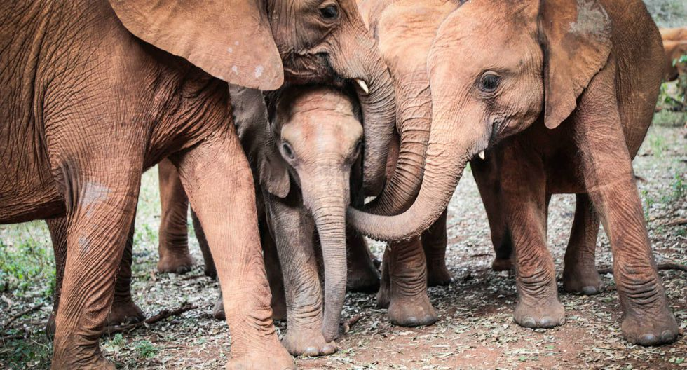 Se hizo viral en Facebook la impresionante reacción de una manada de elefantes huérfanos al conocer a una cría que acababa de perder a su madre.  (Foto: Sheldrick Wildlife Trust)