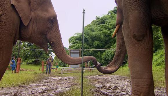 El cerebro de los elefantes es muy parecido en su estructura al del ser humano.  (Fotos: YouTube BBC Earth)