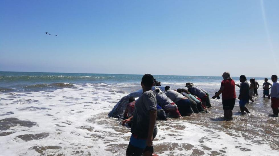 La ballena jorobada que quedó varada desde el martes en una playa del balneario de Bocapán, en la provincia de Contralmirante Villar (Tumbes), fue rescatada tras el esfuerzo conjunto de autoridades, pescadores, turistas y población.