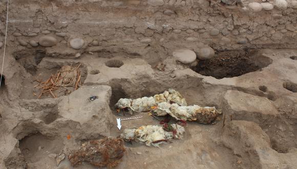 Los especialistas desenterraron en Tambo Viejo un total de cinco llamas momificadas de forma natural. Todas estaban decoradas con cintas de colores.