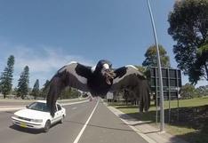 YouTube: una urraca en celo ataca a un ciclista