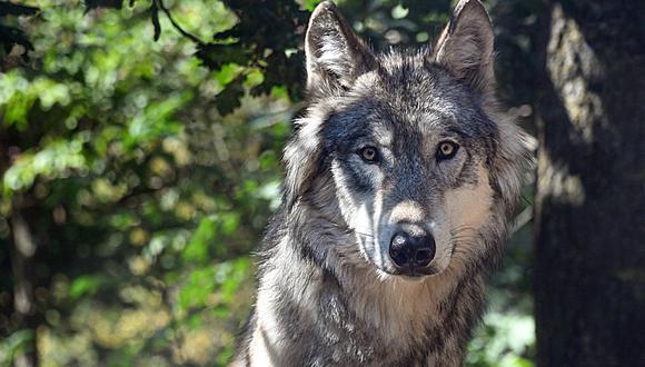 Un alemán que reside en España tuvo a un lobo como mascota durante tres años. En todo ese tiempo, él creyó que se trataba de un can. (Foto: Referencial/Pixabay)