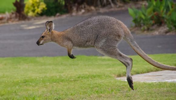 Travieso canguro invade centro comercial en Australia. (Foto: Pixabay / referencial)