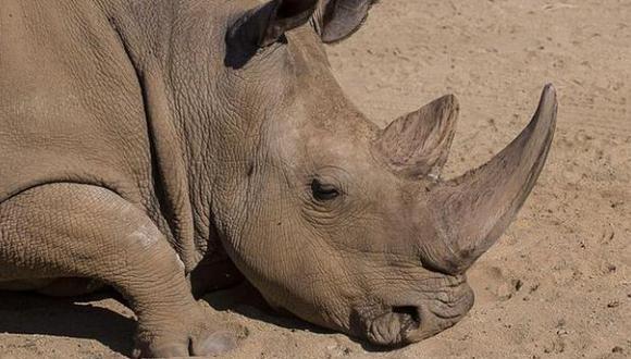 Sudán, el último rinoceronte blanco macho fue sacrificado al tener una avanzada edad y no poder siquiera, ponerse de pie. (Foto: Reuters)