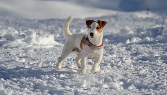 Un perro de raza Jack Russell salvó a su dueño de 10 años del ataque de un lobo. Lamentablemente, murió luego de la hazaña. (Foto: Pixabay / Referencial)