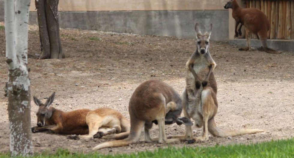 Parque de las Leyendas: canguros rojos deleitan a visitantes - 8