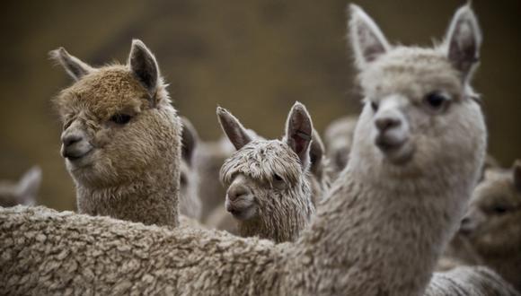 Alpacas. (Foto: Archivo de El Comercio)
