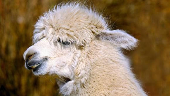 Las alpacas son unos adorables mamíferos originarios de los andes peruanos. ( Foto: Referencial / Pixabay)
