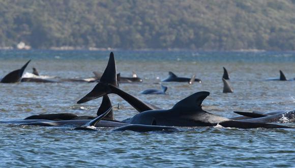 Esta fotografía tomada el 21 de septiembre de 2020 muestra una manada de ballenas varadas en un banco de arena en el puerto de Macquarie, en Australia. (Foto: AFP).