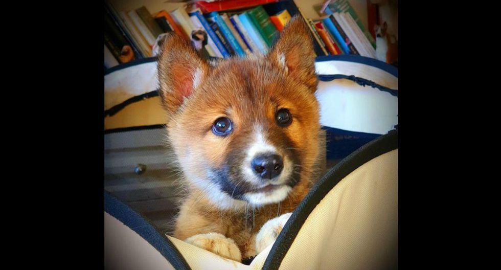 Una prueba de ADN ha confirmado que se trata un dingo 100% puro. (Foto: Instagram/wandi_dingo)