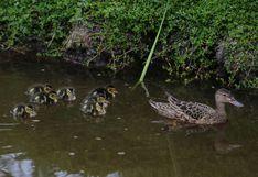 Pantanos de Villa: conoce las diez crías de pato colorado que son la atracción del área natural   FOTOS