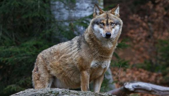 Lobo salvaje es grabado comiendo arándanos y remece las redes. | Foto: Shutterstock