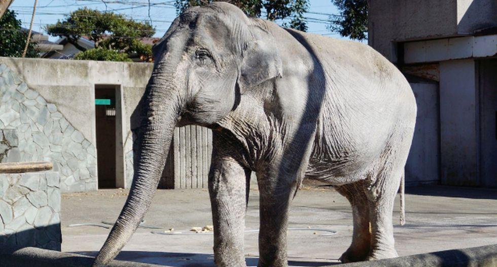 """Japón: Murió """"elefante más solitaria del mundo"""""""