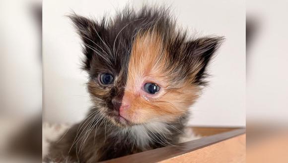 """Apricot, el gato huérfano que nació con """"dos caras"""". (Foto: @kittenitwithkiki / Instagram)"""