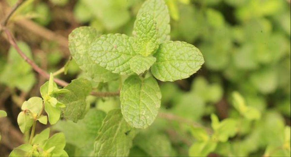 Once plantas medicinales que deberías tener en casa