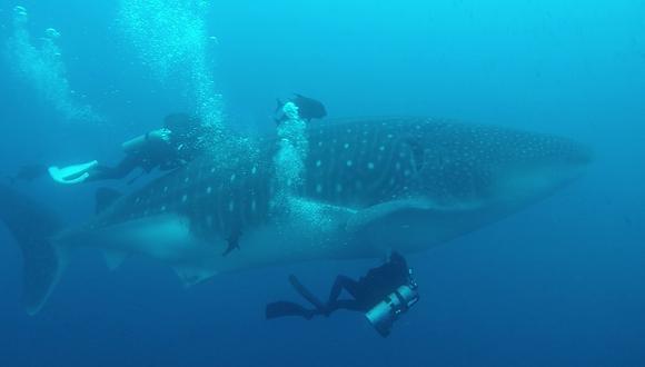 El tráfico marítimo es la mayor amenaza de esta especie. Foto: Reserva Marina Galápagos.