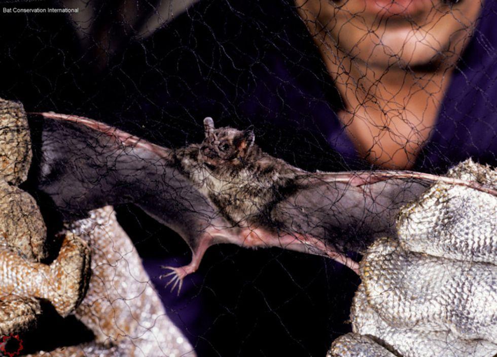 Desmodus rotundus, vampiro común que habita desde el sur de EE.UU. hasta el sur de Sudamérica. Foto: ©Merlin D. Tuttle – Bat Conservation International.