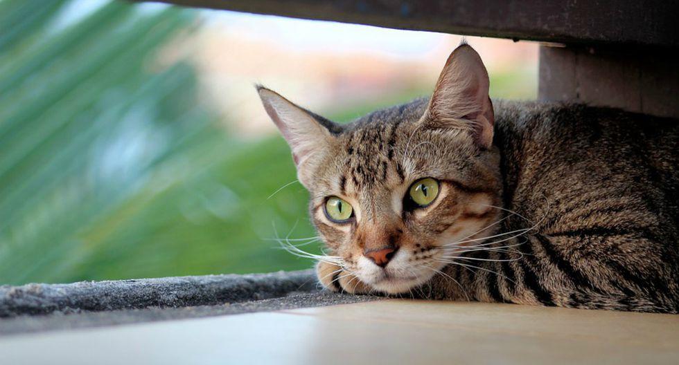 Se hizo viral en YouTube el momento en que un gato finge estar dormido para apoderarse de la comida de su dueña. (Foto: Referencial/Pixabay)
