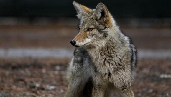 Defensores de la vida silvestre condenan que no se usen otros métodos con los animales salvajes. (Foto: Getty Images)
