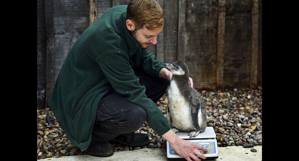 El pesaje anual en el famoso Zoológico de Londres - 7
