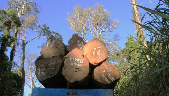 Las mafias ahora están detrás de nuevas especies forestales como el shihuahuaco, pero los gobiernos no hacen nada para protegerlas. Foto: Mongabay Latam