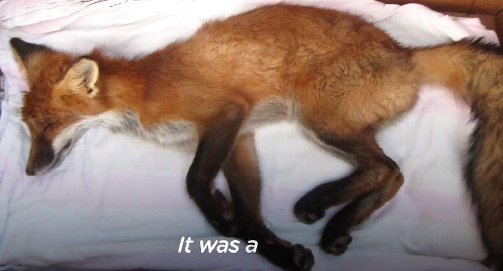 Así fue como este zorro se recuperó y fue rescatado de una muerte fija. (Foto: The Dodo)
