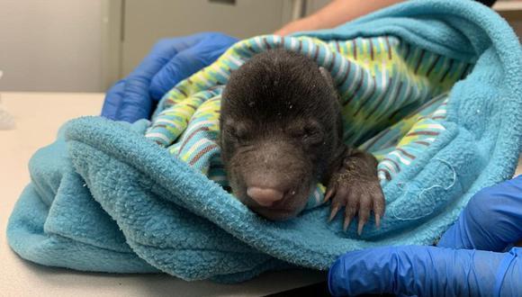El pequeño osezno fue encontrado en medio de la nieve y en malas condiciones. Tras recibir los cuidados logró recuperarse. (Foto: Centro de Vida Silvestre de Virginia)