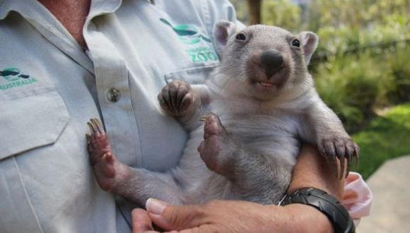 Una enfermedad amenaza a dos especies de mamíferos en Australia