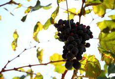 Beta prevé incrementar en un 15% su producción de uvas durante este año