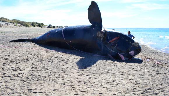 Imagen de la ballena franca austral varada en Península Valdés. Foto: Instituto de Conservación de Ballenas