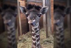 Conoce a Dixie, la jirafa bebé que robó millones de corazones [VIDEO]
