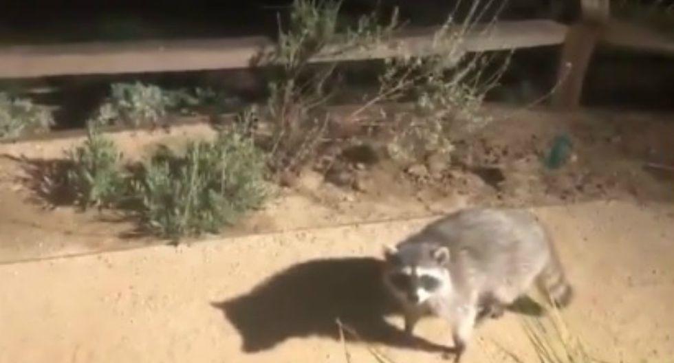 Se viralizó en Facebook el instante en que dos mapaches fingen ser estatuas tras ser descubiertos en un jardín. (Foto: Captura)