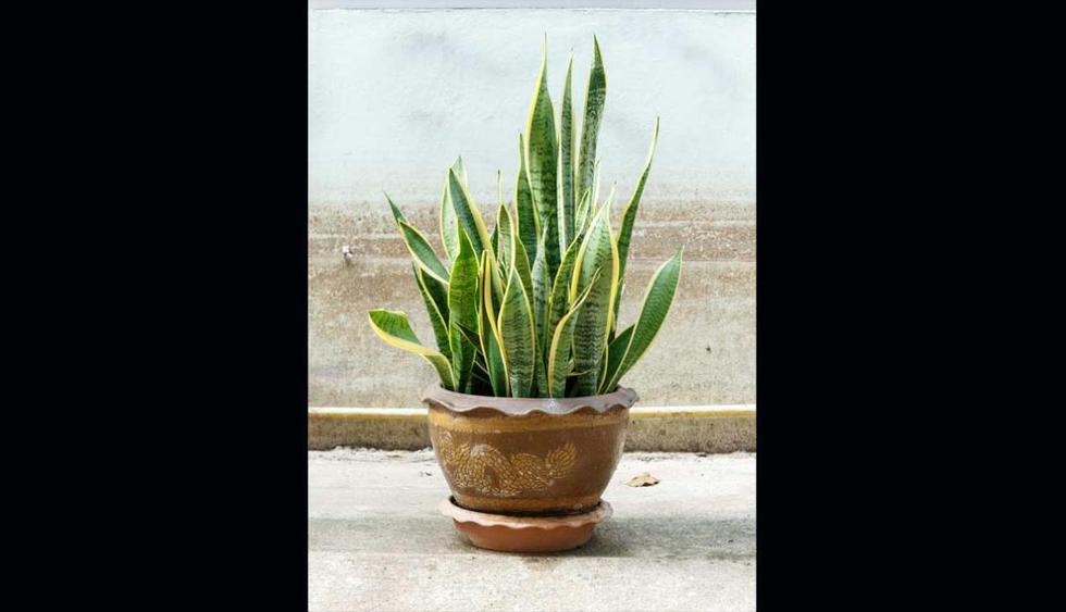 Lengua de suegra (Sansevieria trifasciata). Si se cultiva en exteriores puede aguantar temperaturas muy altas (incluso de 40ºC) y también muy bajas (-5ºC).Esta planta es muy utilizada en la decoración de interiores y tiene la ventaja de sobrevivir in