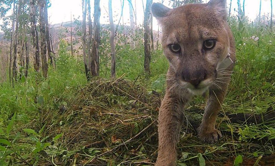 Un puma capturado por una cámara trampa.