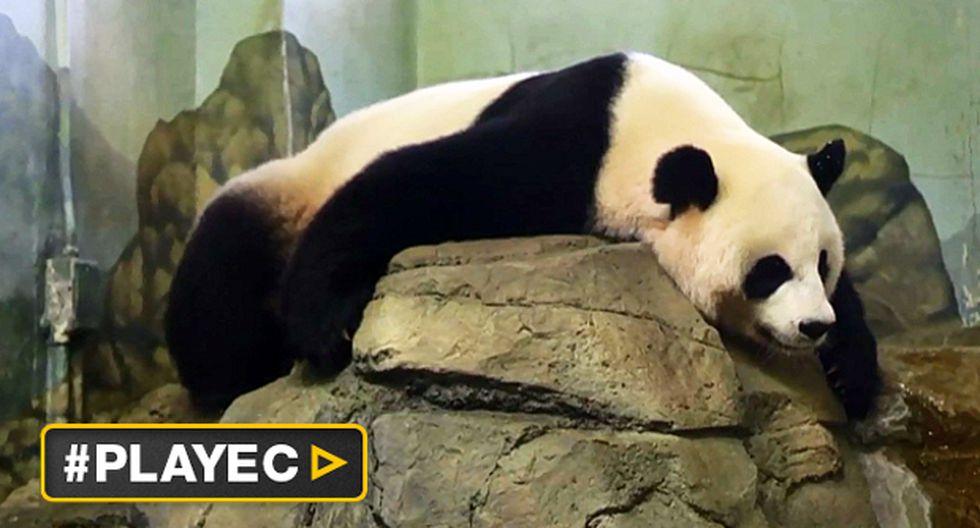 La panda de Washington Mei Xiang estaría embarazada [VIDEO]