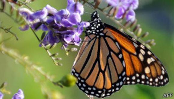 La brújula magnética de las sorprendentes mariposas monarca