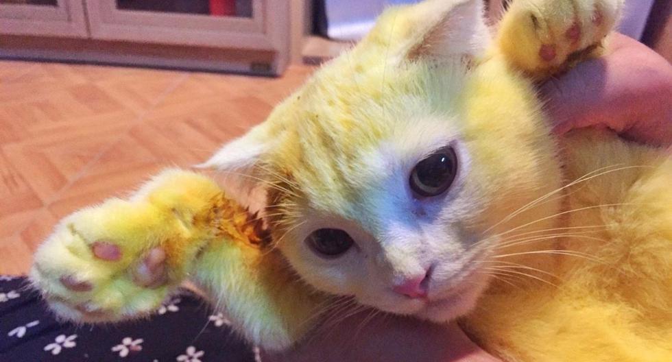 Este es el felino que terminó totalmente amarillo tras haber sido 'tratado' con cúrcuma. (Foto: @mycatYellow   Facebook)