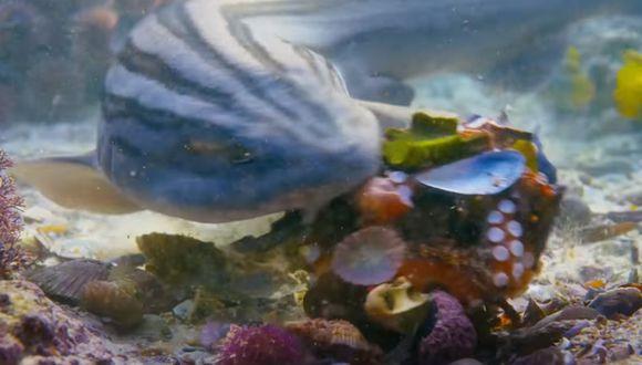 Tiburón vs. Pulpo, la brutal batalla en donde la inteligencia le ganó a la fuerza brutal. (Foto: YouTube Discovery Channel)