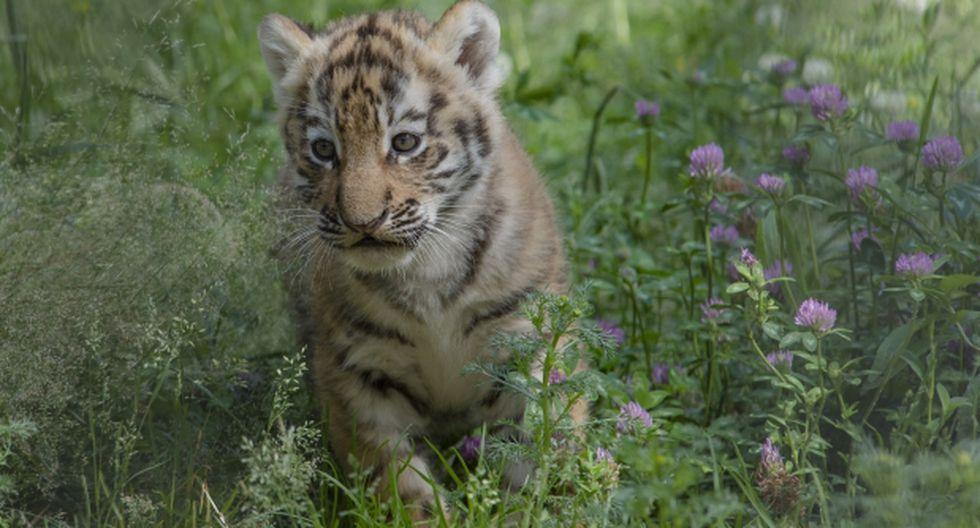 China admitió que permite el tráfico de la piel de tigre