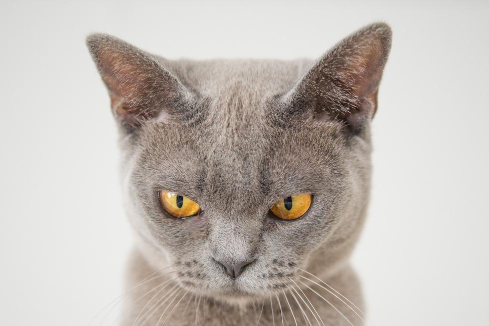 """Un gato evidencia su malestar por tener que someterse a la """"tortura"""" del corte de pelaje. (Foto: Pixabay/Referencial)"""