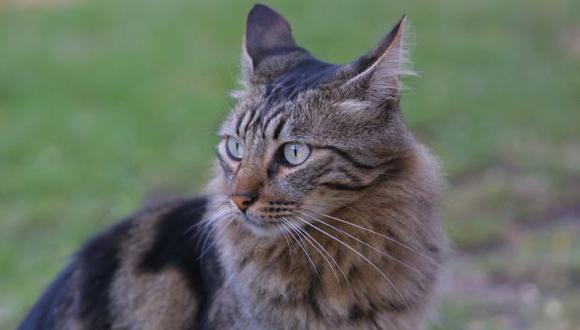 Se cree que los gatos ronronean haciendo vibrar las cuerdas vocales más de 26 veces por segundo mientras inhalan y exhalan aire. (Foto: El Comercio)
