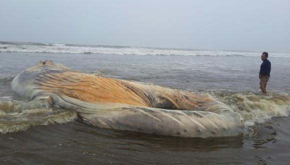 Ballena jorobada que varó en playa de Chiclayo fue enterrada