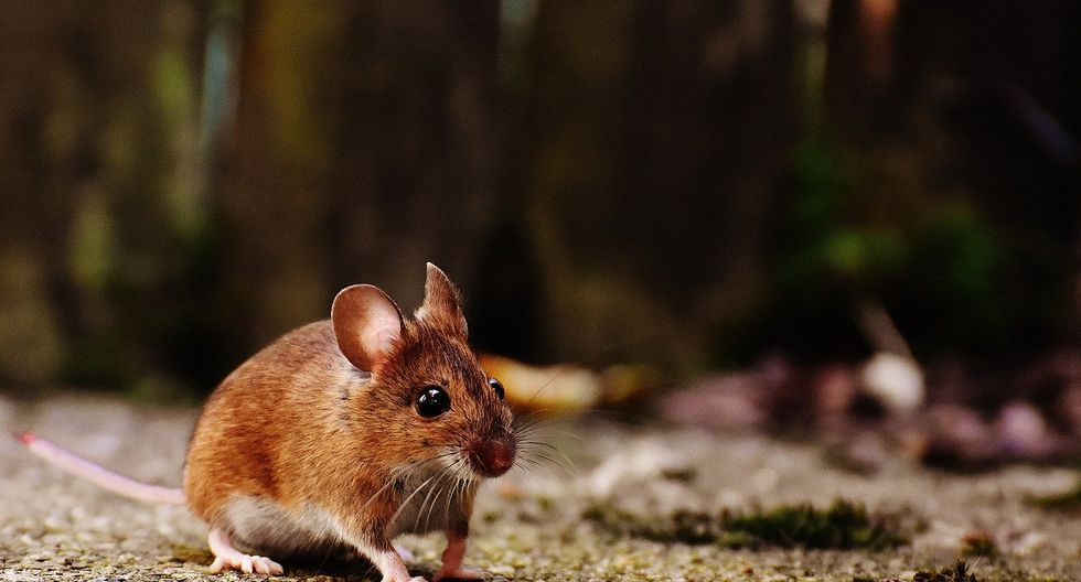 El hantavirus se transmite a través del contacto humano con heces, orina o saliva de algunos tipos de roedores. (Foto: Pixabay)